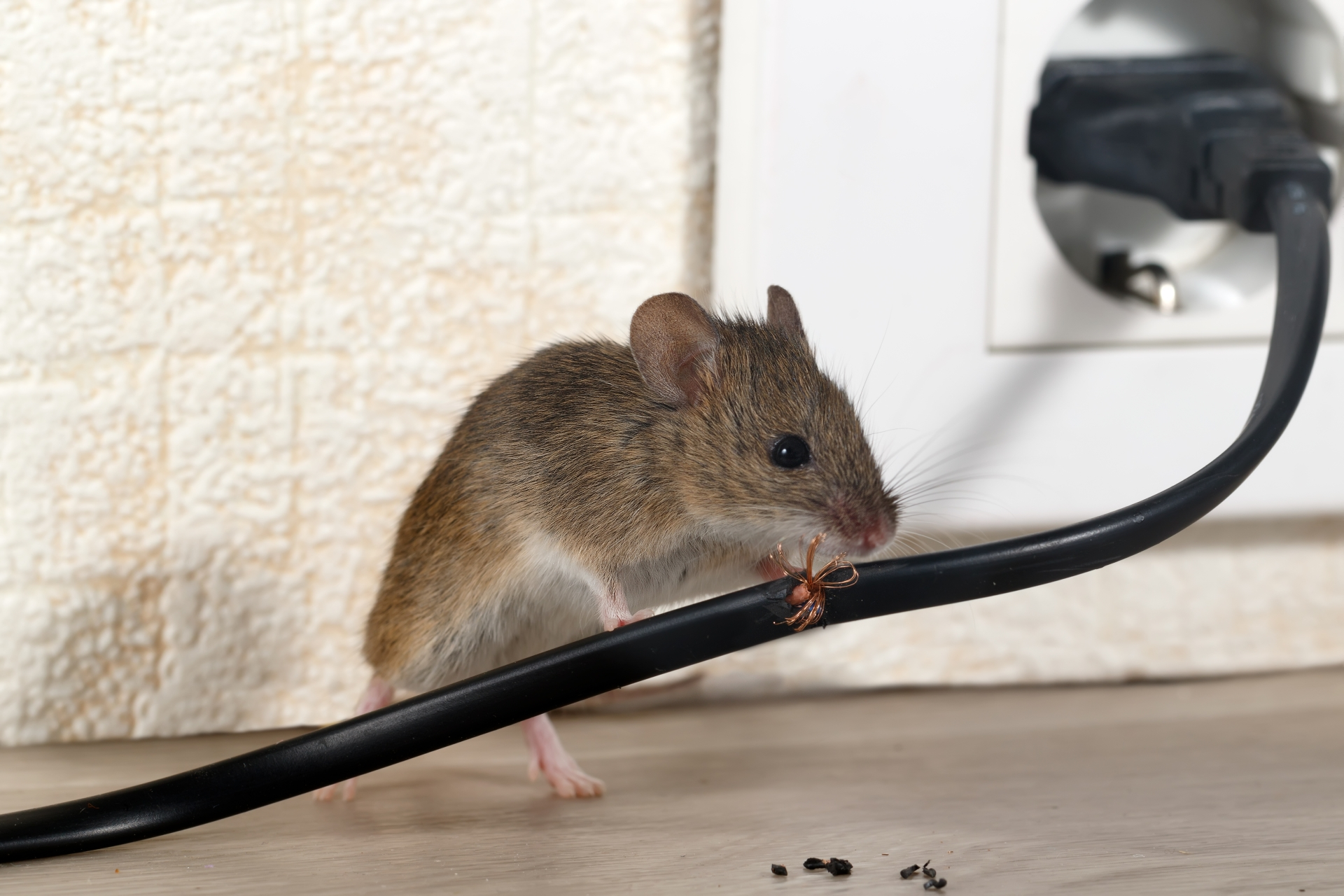 Mice Infestation, Pest Control in Chiswick, W4. Call Now 020 8166 9746