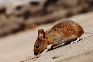 Mice Exterminator, Pest Control in Chiswick, W4. Call Now 020 8166 9746