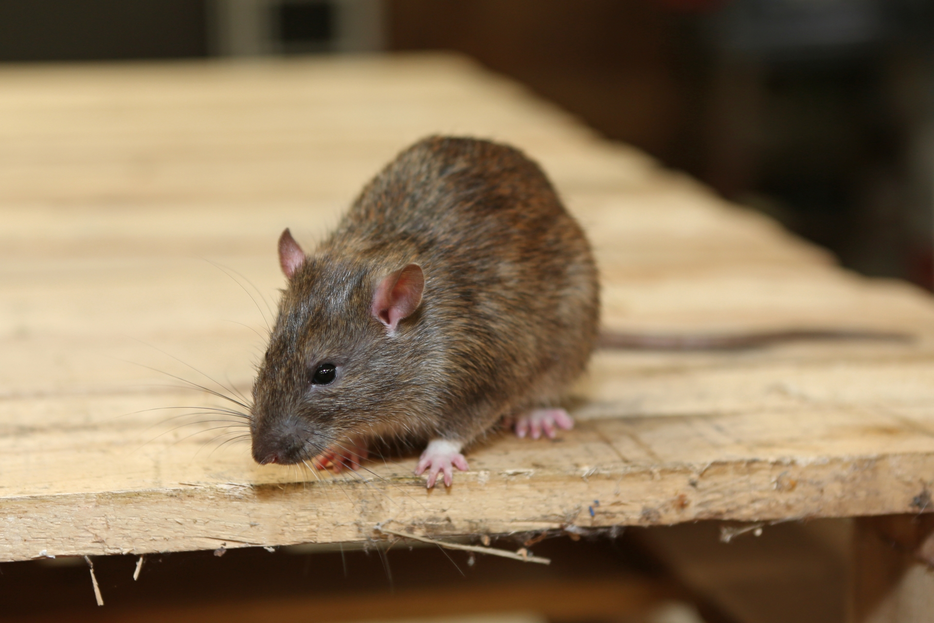 Rat Infestation, Pest Control in Chiswick, W4. Call Now 020 8166 9746